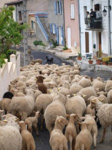 Sheep in Road_1