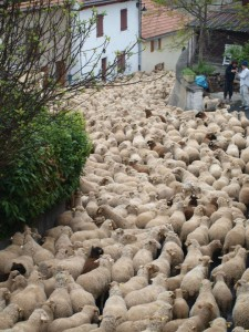 Sheep in Road_2